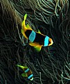 Picture Title - Clark's anemonefish