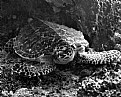Picture Title - The Green Turtle, Not So Green