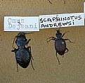 Picture Title - Scaphinotus