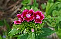 Picture Title - sweet william
