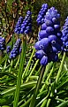Picture Title - Grape Hyacinth
