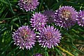 Picture Title - chives