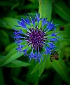 Picture Title - Knapweed