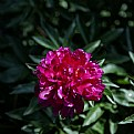 Picture Title - PEONY