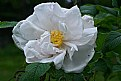 Picture Title - white rose