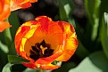 Picture Title - Orange Tulip Heart