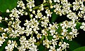 Picture Title - elderberry flowers up close