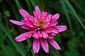 Picture Title - new echinacea