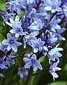 Picture Title - Bluebells
