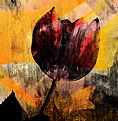 Picture Title - Red Tulip