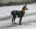 Picture Title - Antelope Dog