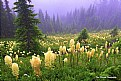 Picture Title - Bear Grass Country