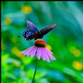 Picture Title - Black Swallowtail