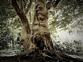 Picture Title - big tree