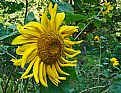 Picture Title - sunflower dance