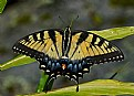 Picture Title - swallowtail on green