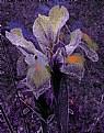 Picture Title - Iris