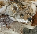 Picture Title - Coyote
