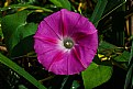 Picture Title - Morning-glory!