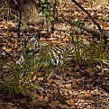 Picture Title - tigress resting at bandhavgarh...
