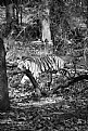 Picture Title - save the tiger