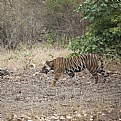 Picture Title - tiger at bandhavgarh