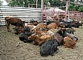Picture Title - Steers