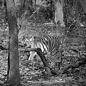 Picture Title - tigress, in a forest