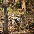 Picture Title - tigress at bandhavgarh