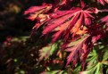 Picture Title - Mapple leaf