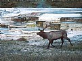 Picture Title - Elk Bugling