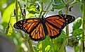Picture Title - greenhouse hatched monarch