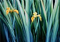 Picture Title - Yellow Iris