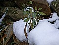 Picture Title - sage on ice