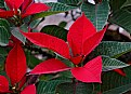 Picture Title - recycled pointsettia