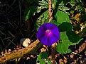 Picture Title - Morning Glory