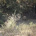 Picture Title - jungle lion