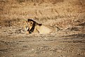 Picture Title - lion at gir national park.