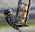 Picture Title - little pecker