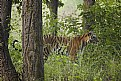 Picture Title - tigress, at kanha national park..