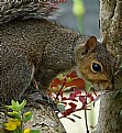 Picture Title - Grey Squirrel