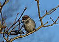 Picture Title - Winter Sparrow