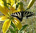 Picture Title - Swallowtail Torn Wing