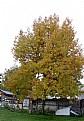 Picture Title - Oak