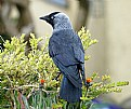Picture Title - Corvus On A Hedge