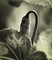 Picture Title - Cyclamen Flower