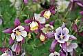 Picture Title - Columbine Purple & Cream