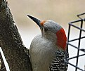Picture Title - red head on red bellied