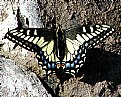 Picture Title - Papilio Zelicaon