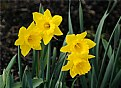 Picture Title - Yellow Daffodils
